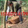 RF-WS-700硬土地汽油挖树机 手提轻便链条挖树机